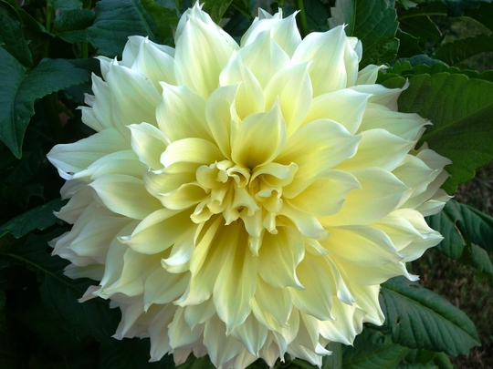 Yellow Dahlia (Dahlia)