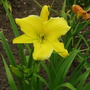 Daylily 'Big Bird' (Hemerocallis)