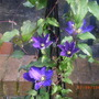 """Clematis""""Royalty"""""""
