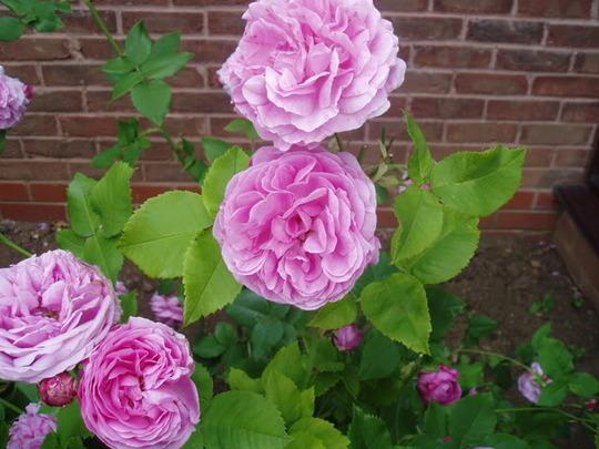 Rose 'Louise Odier' (Rose)