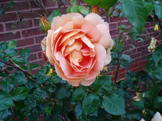 Rose 'Pat Austen' (Rose)
