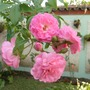 My mother's garden - pink roses