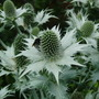 Eryngium giganteum (Miss Willmott's ghost)