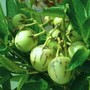 Melon_pear