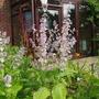 Salvia (Salvia sclarea (Clary))