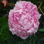 Peony Sarah Bernhardt (Paeonia)
