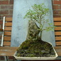 Goat Willow (Salix caprea) (Salix caprea (Palm Willow))