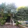 Gum tree (Eucalyptus gunnii (Cider gum))