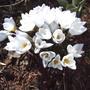 White Crocus (Crocus vernus)