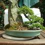 Rockspray Cotoneaster (Cotoneaster horizontalis)