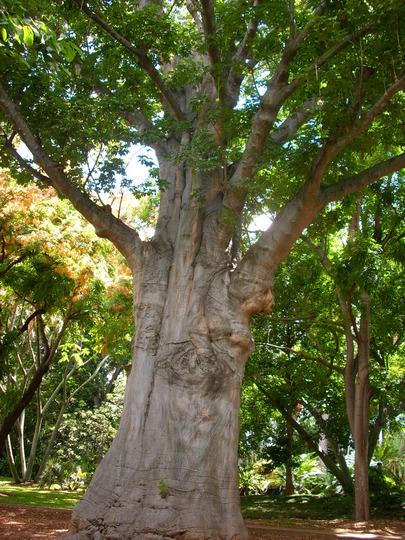 Adansonia digitata - Baobab Tree, Dead Rat Tree (Adansonia digitata - Baobab Tree, Dead Rat Tree)