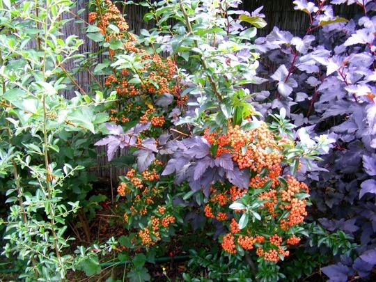 Pyracantha looking good again. (Pyracantha angustifolia (Fire Thorn))