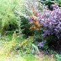 The colours of shrubs (Pyracantha angustifolia (Fire Thorn))