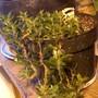 jellybean cactus (Sedum rubotinctum)