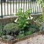 White Brugmansia (Brugmansia suaveolens (Maikoa))
