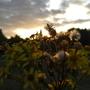 Wild_Flower_Sunset.jpg