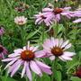 Echinacea 'Magnus' (Echinacea)