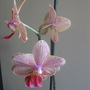 Orchid (Orchid Phalaenopsis)