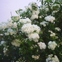 English may (Spiraea cantoniensis)