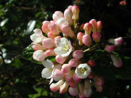Viburnum x burkwoodii 'Park Farm Hybrid' (Viburnum x burkwoodii)
