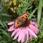 Small Tortoiseshell Butterfly on Echinacea