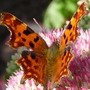 Comma Butterfly on Sedum spectabile (Sedum spectabile)