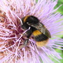Big bee on a big thistle!