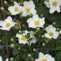 Anemone Vitifolia