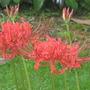 Nerine lily