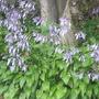 Fulkia lily