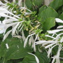 Hosta lily