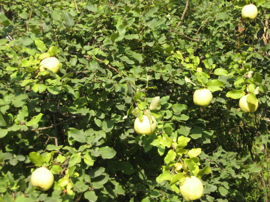 Quince Apple