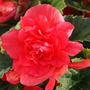 F005_My_garden_Red_Begonia_Aug_09_copy_one.jpg
