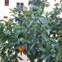 Oranges in the Garden 2004