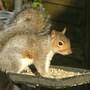 Squirrel_087