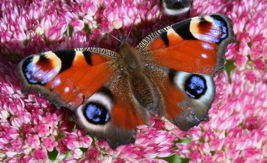 Peacock butterfly on sedum