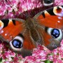 Peacock butterfly on sedum