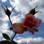 CIMG4437.jpg (Mackalves Floribunda)