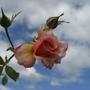 CIMG4441.jpg (Mackalves Floribunda)