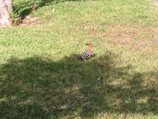 Hoopoo Bird