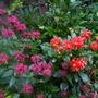 monarda and dahlia (Dahlia pinnata (Dahlia))