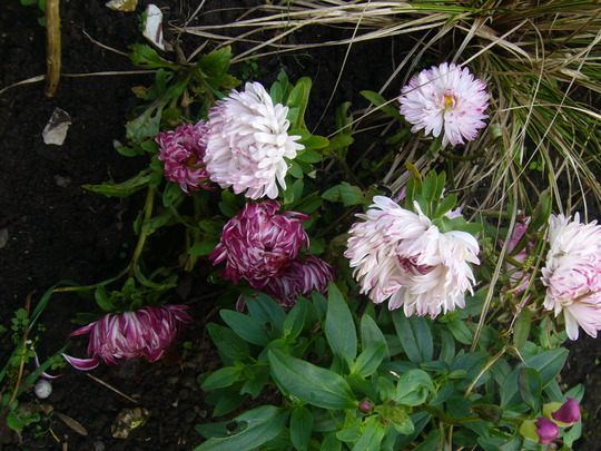 Aster 'pink ribbons'