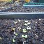 seeds_petunia_red_malope.jpg