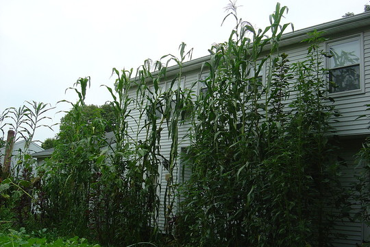 giant maize and amaranth along the back of my house