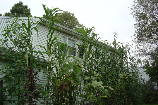 giant corn and amaranth at the back of my house
