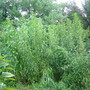 up to 21 ft. tall giant amaranth and tidalmarsh amaranth