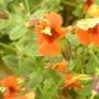 Mimulus (mimulus cardinalis)