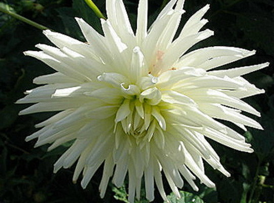 Dahlia.. no name...... (Dahlia Pinnata)