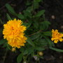 Coreopsis Early Sunrise (Coreopsis Grandiflora)