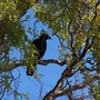 Crow in curly tree